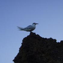 アジサシ♪与論島の野鳥観察もお楽しみいただけます!
