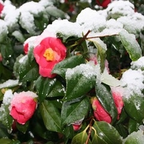 椿と雪のコラボ