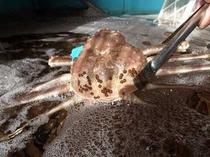 フロント横の生簀の松葉蟹