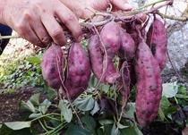 黒滝野菜収穫