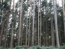 宿周辺の檜の森