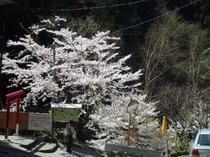 春の参道入り口