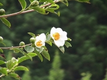 境内の沙羅双樹