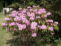 境内の石楠花