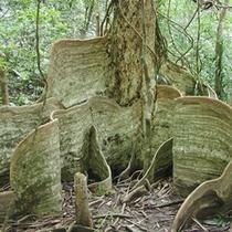 *【サキシマスオウの木】本州とは違う植物を見られるのも楽しみの一つ!