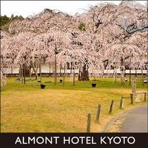 醍醐寺霊宝館の桜
