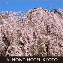 京都御苑の早咲きしだれ桜