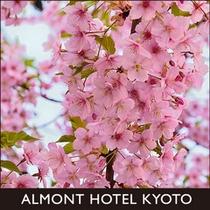 京都一条戻橋早咲き桜