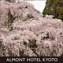 醍醐寺三宝院の桜
