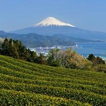 【周辺観光】 イメージ 茶畑と富士山