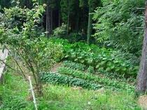 8. 元気いっぱいの芋畑。