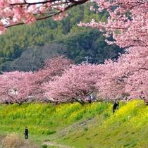 *【みなみの桜と菜の花まつり】河津桜と菜の花のコントラストをお楽しみ下さい。