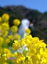 みなみの桜と菜の花まつり(菜の花結婚式)