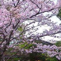 *当館エントランスでは桜の木がお客様のお越しをお迎えいたします。