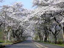 レンガ館近所の桜並木