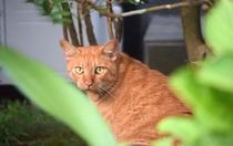 薩摩の里の看板ネコ チャーリー♪