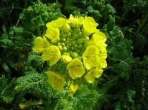 可憐に咲いている菜の花