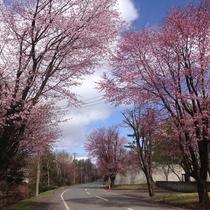 *[春]当館近隣の桜/例年5月頃が見頃
