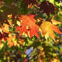 *[秋]当館周辺の紅葉/例年10月頃が見頃