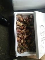 新鮮で大粒な「ばい貝」