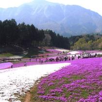 *羊山公園の芝桜