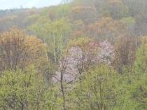 桜が映える春のニセコ