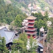 *【春の久遠寺】身延山久遠寺は、樹齢400年で全国しだれ桜10選のひとつ