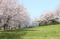 日野江城跡の桜