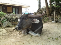 竹富島の水牛