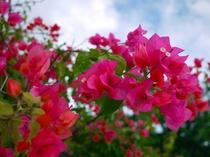 島にはブーゲンビリアの花が多く咲いています