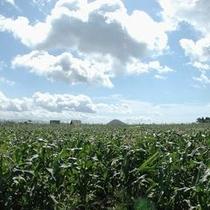 【夏】どこまでも広がるとうもろこし畑と大空。夏を切り取ったような田園風景です。