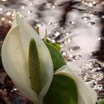 【春】まだ冷たい洞爺湖。凛と花開いた水芭蕉が春を告げる。