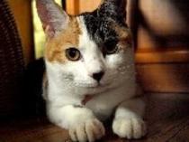 三毛猫のすみれちゃんです。