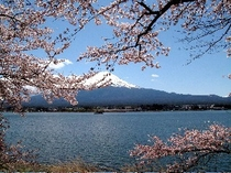 富士と桜は最高の取り合わせです。