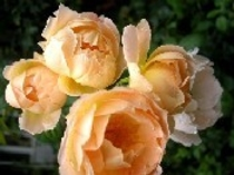 庭に咲いてるバラの花です。