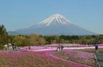 富士山芝桜祭りきれいです。