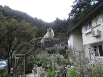 庭のハナちゃん