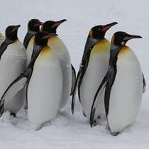 旭山動物園~ペンギン散歩~