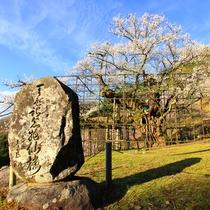 樹齢1000年の桜