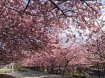 河津川沿いの満開時の河津桜。ピンクの花びらが特徴(早咲きの河津桜まつりは毎年2月〜3月)