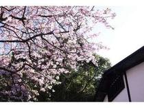 2月ごろに咲く河津桜。2