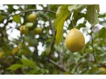 庭で生るレモン。フレッシュな素材をご提供するよう心掛けております!