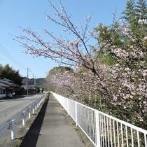 古座川沿いの桜 H27.2.28撮影