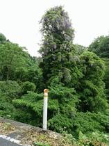 藤の花のツリー