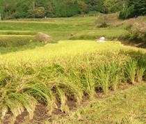 別宮の棚田にて 稲刈り風景
