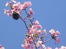 庭の河津桜とメジロ