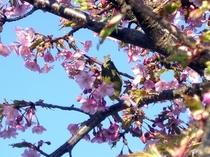 満開の庭の河津桜