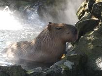 シャボテン公園 「温泉のカピバラ」