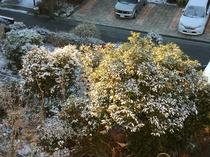 2017.2.11 雪の朝の甘夏蜜柑の木
