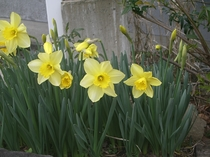 ミヨーの庭の黄水仙